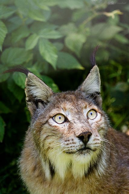 1000 Images About Lynx Bobcat On Pinterest Bobs Canada