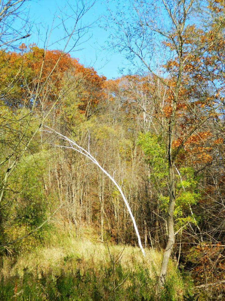 White Birch (Betula papyrifera) at Taylor Creek Park by garden muses: not another Toronto gardening blog.