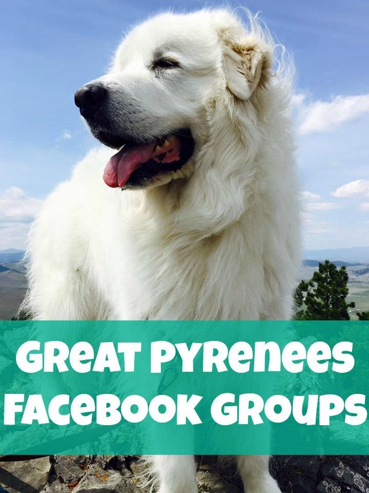 Have you been looking for a place to chat with your fellow Great Pyrenees lovers online? We've rounded up some of the most popular Great Pyrenees Facebook groups for you to enjoy!