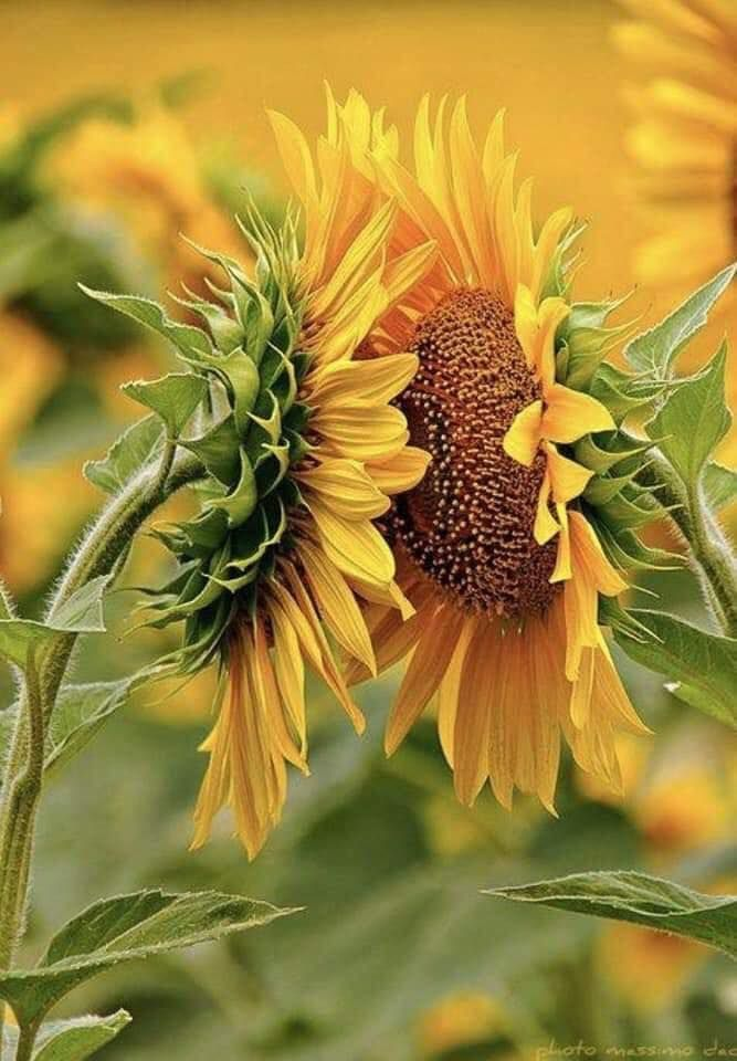 Sunflowers Turn According To The Position Of The Sun In Other Words They Chase The Light Have You Ever Wondered Wh Sunflower Happy Flowers Love Flowers