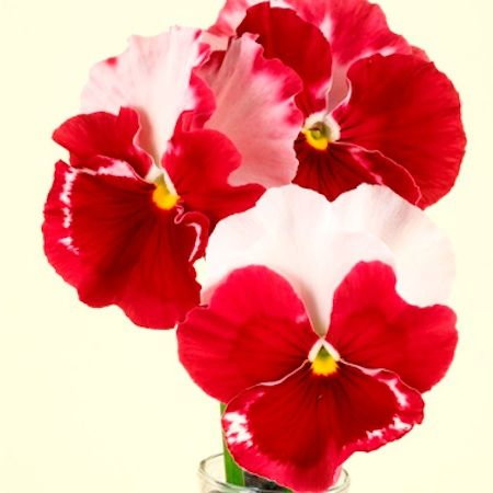 pansy_desiderio_orchid_rose_tricolor_pop-up.jpg 450×450 pixels