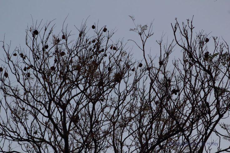 Jacaranda [27002]  www.timhoney.co.za www.timhoney.co.za/contact/ www.timhoney.co.za/buy-prints/
