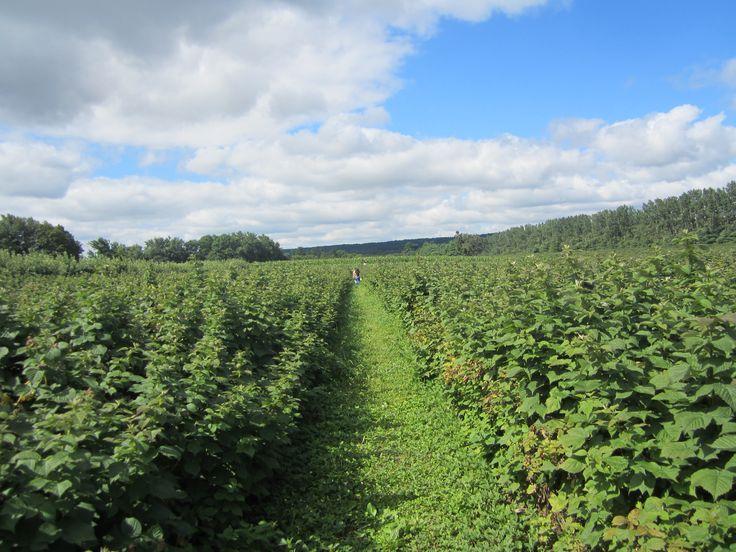Raspberries field