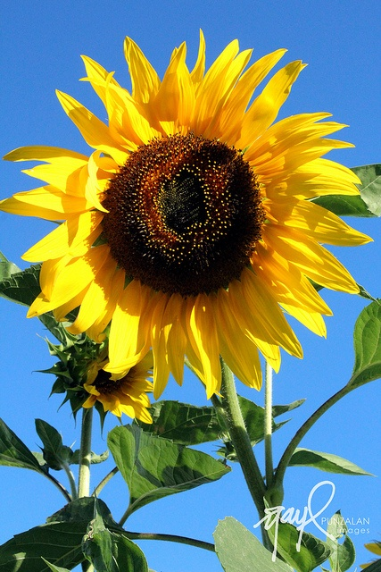 Sunflower in our front yard.