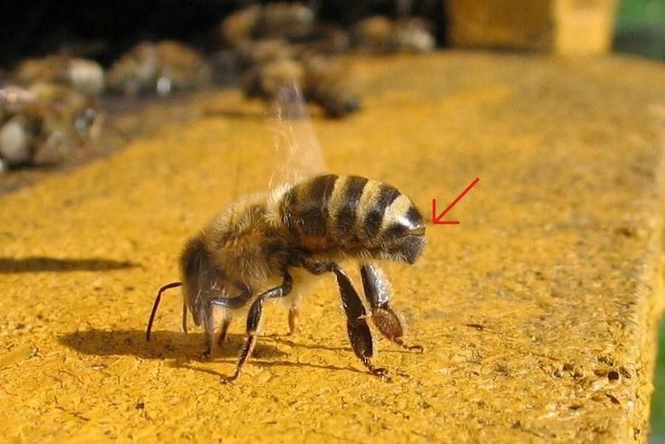 Honeybee-cooling cropped extra - Honingbij - Wikipedia