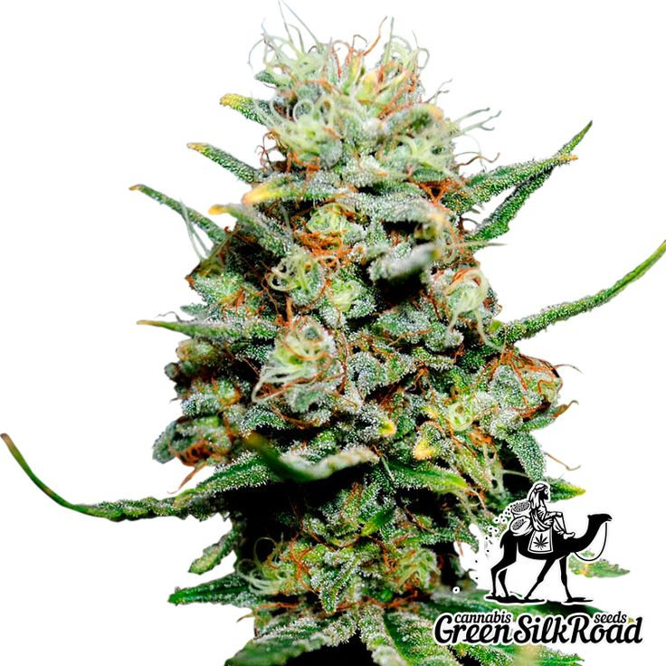 Critical Feminised is a perfect indica-sativa hybrid with strong commercial potential, delicious flavor, simplicity and excellent resistance to infections. Its shrubs do not exceed 90 cm in height, however, they can bring a truly enormous yield from 700 to 900 g / m²! The tight buds of this hybrid are filled with fragrant resin, emitting a bouquet of bright skunk and fruity notes. The powerful effect of this strain is proven with high THC content (about 20%).
