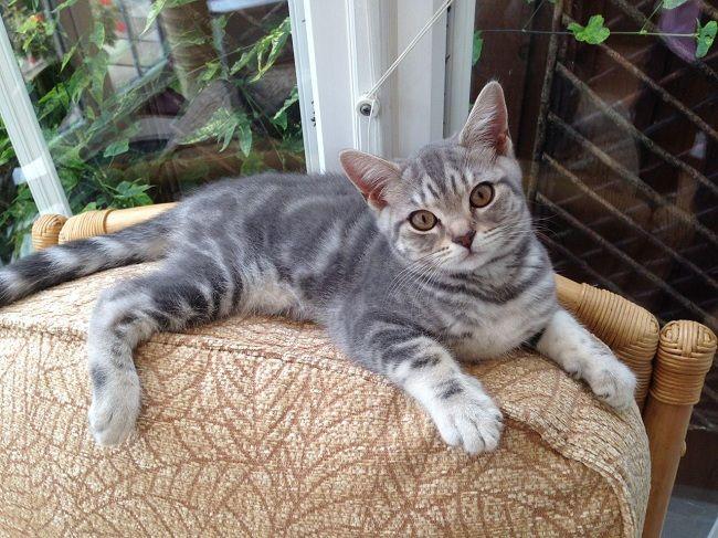 silver tabby kitten images