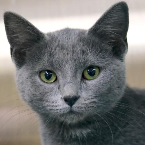 I'm a 4 month old spayed female gray Domestic Short Hair. I'm a gorgeous, charcoal grey girl who loves to play with my friend Hazel. I can be timid at first, but once I feel safe I'm a typical, active kitten. I'd love to be adopted with Hazel but it's okay if we go to different homes. However, I'll do best if my home includes another feline so I have a buddy to comfort me and help me build up my confidence. Humane Society of Jefferson County W6127 Kiesling Rd Jefferson, WI 53549 920-674-2048