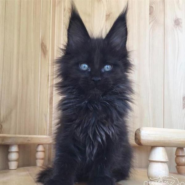 11 Reasons To Be Thankful For Black Cats On National Black Cat Day National Black Cat Day Fluffy Black Cat Black Cat Day