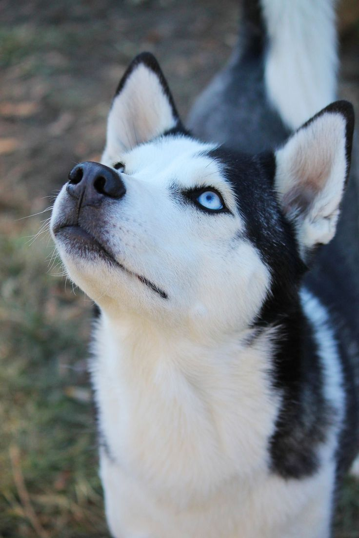 Husky puppies for sale yucca valley - Siberian Husky Pup Classic Look