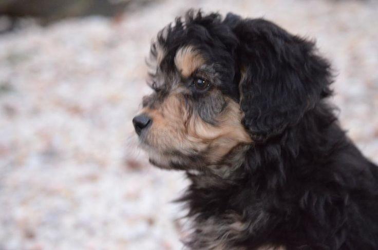 Best Aussiedoodles in 2020 Labradoodle puppy, Australian