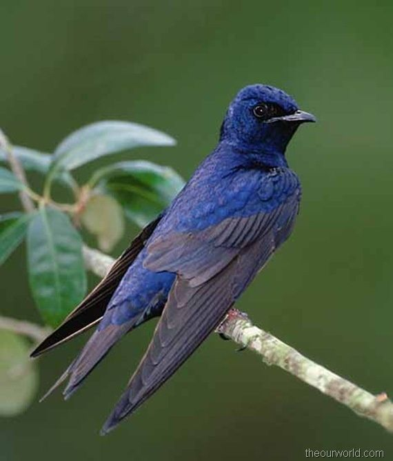 Purple martins characteristics and houses - Allen's Woodturning and Crafts