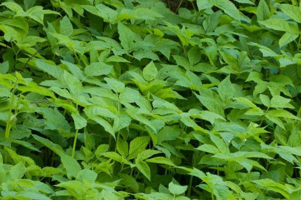 Vuohenputken nuoria lehtiä voi käyttää pinaatin ja kaalin tapaan. Niistä voi loihtia makoisan keiton, kaali–vuohenputkipadan tai raikkaan salaatin. Samalla niistä saa muun muassa rautaa ja C-vitamiinia. Vuohenputkea on käytetty kansanlääkinnässä kihti-, nivel- ja virtsarakkovaivoihin sekä rauhoittavana rohtona. Kihdin vaivaaman varpaan kipua on lievitetty käärimällä varvas murskattuihin vuohenputken lehtiiin.