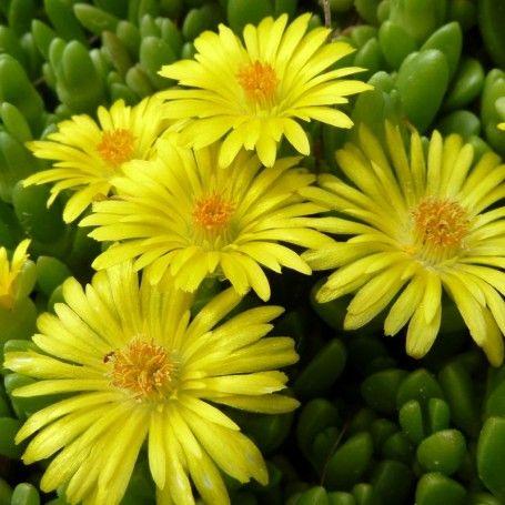 Delosperma nubigenum - RoyalPlant.ro