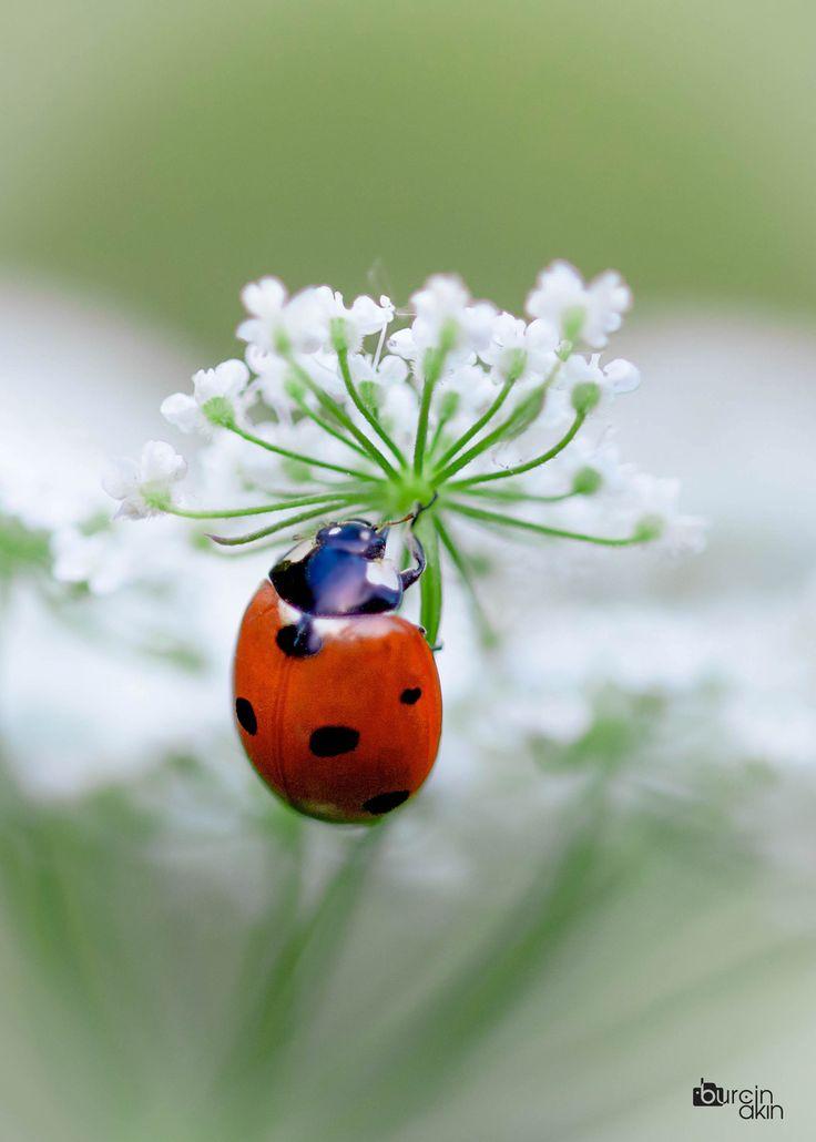 ladybird by burçin  akın on 500px