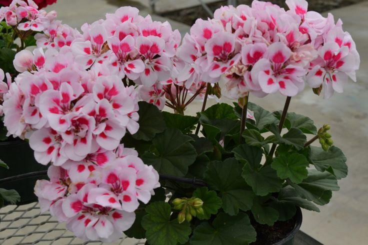 Geranium Candy White Parfait