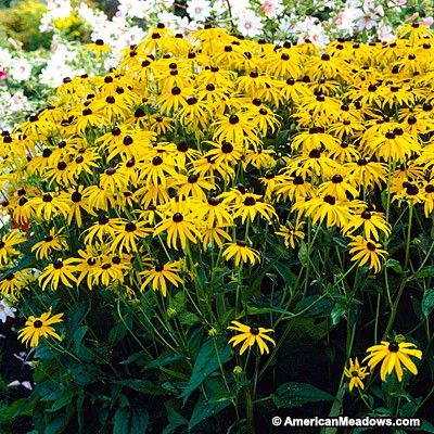 Goldsturm This Black-eyed Susan is  one of the Worlds most popular, very easy to grow plants. (Rudbeckia fulgida)