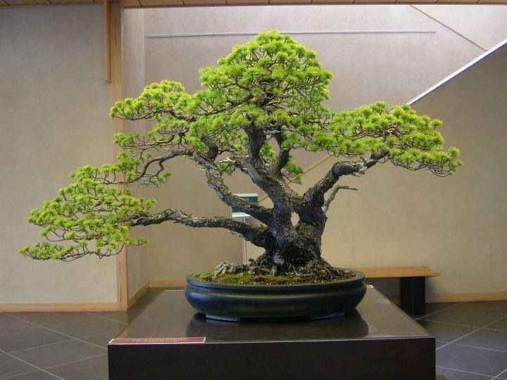 217 Best Bonsai Images On Pinterest Bonsai Trees Nature And Bonsai