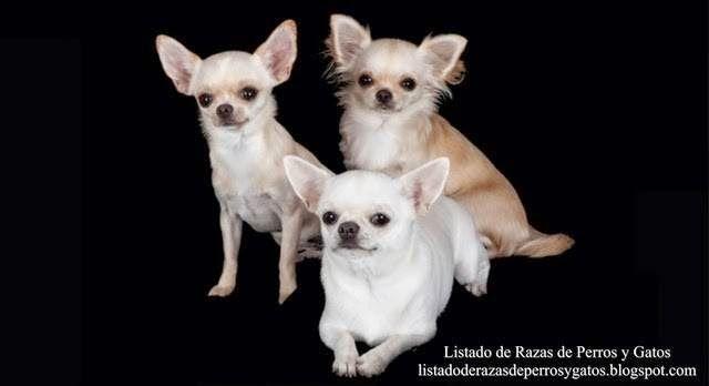 Listado de Razas de Perros y Gatos. Todos los tipos...: Raza de Perro Chihuahua (Chihuahueño, Chaparro o P...