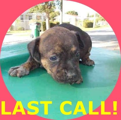 LUCY (A1674711) I am a female black and tan Terrier mix. The shelter staff think I am about 4 weeks old. I was found as a stray and I may be available for adoption on 01/23/2015. — hier: Miami Dade County Animal Services. https://www.facebook.com/urgentdogsofmiami/photos/pb.191859757515102.-2207520000.1422133713./915609835140087/?type=3&theater