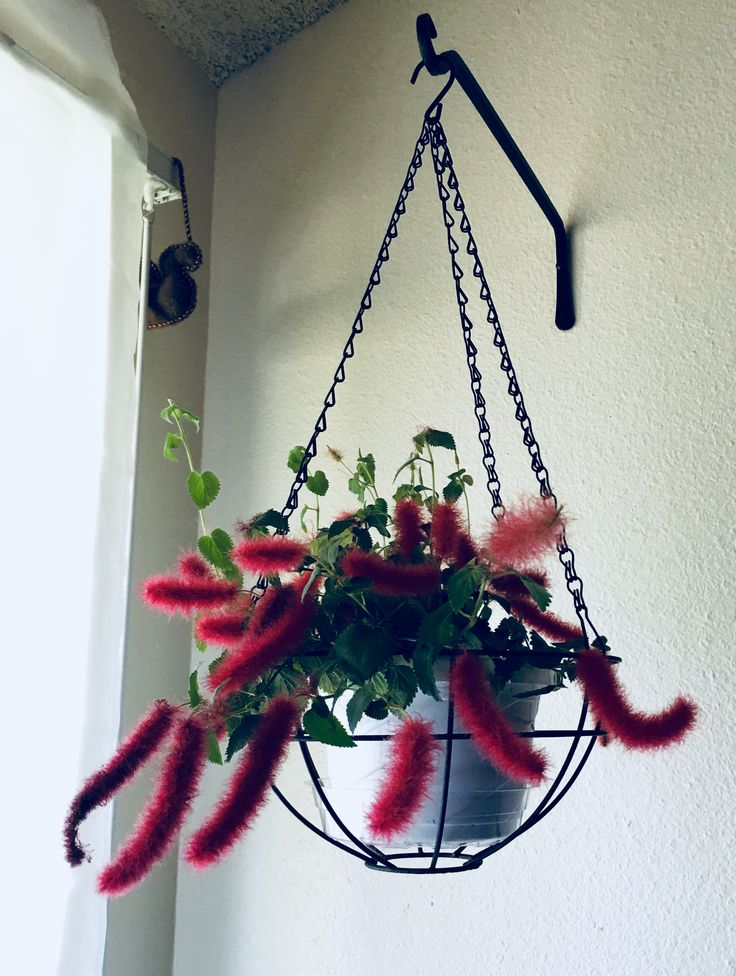 My chenille plant, great for apartments