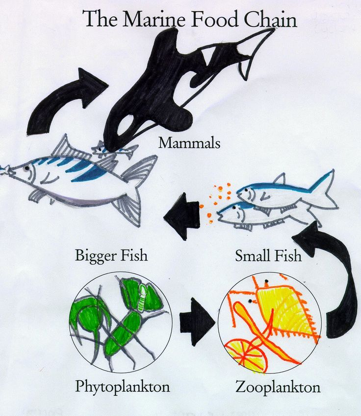 Simplified ocean food chain   Can you create your own?