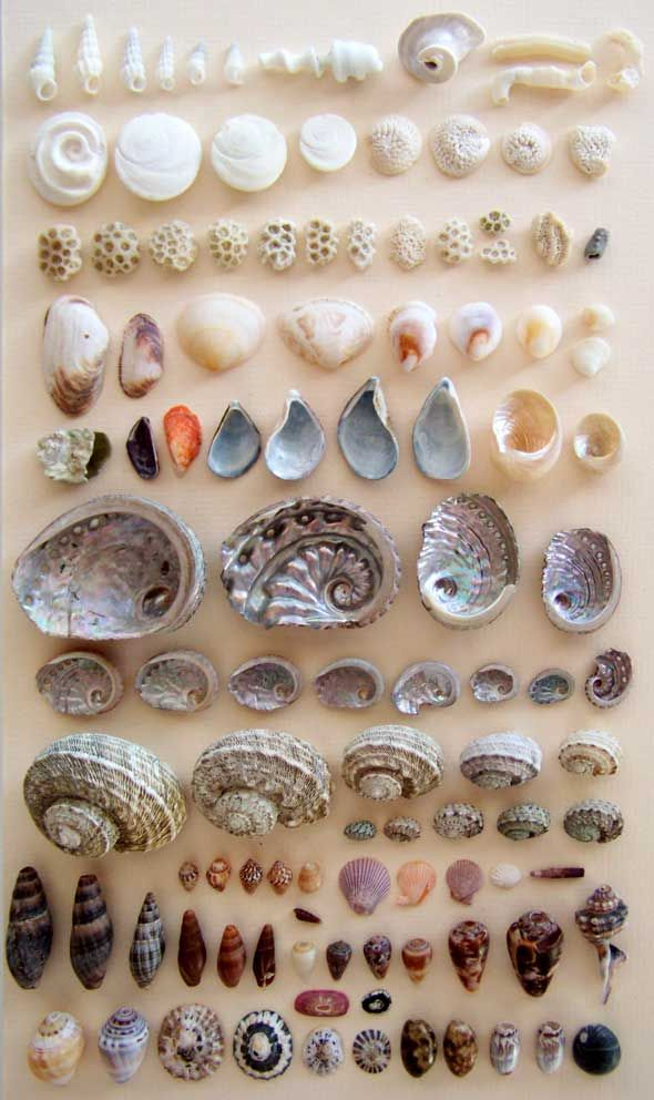 Hi there, I'm trying to identify some shells in my collection, and in this picture a see a few. If anyone could help me out, that would be great! Okay, so what I have is the white tube in the upper-right hand corner, the grey shells right underneath the abalones, the round cap-like shells in the bottom row, and the pearly-white shells just above the abalones on the right hand side. If anyone can identify any of these shells, please let me know.  - Joyce Bridget