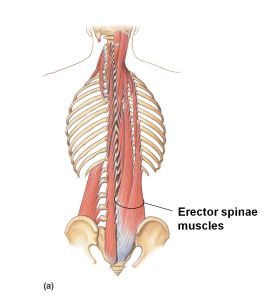{Erector Spinae these muscles run the whole length of the back from the bottom of the neck to the hip below}