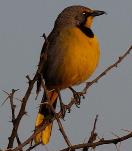 Yellow African bird