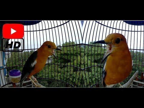 Masteran Anis Merah Durasi Terpanjang Youtube Burung Merah
