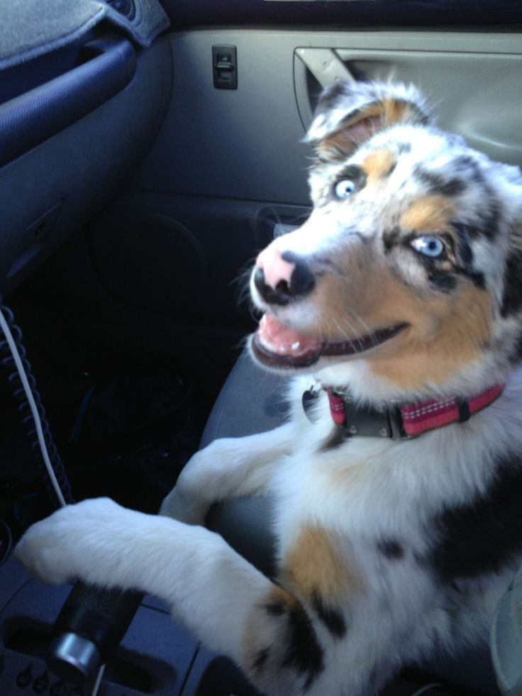 "Blue Merle Australian Shepherd: FOR EVERYONE WHO REPINS THAT STUPID PUPPY CAPTIONED ""GOLDEN RETRIEVER/HUSKY MIX"" ITS ACTUALLY ONE OF THESE OKAY."