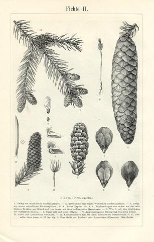 http://www.artisans-lane.com/MeyersKonversations/Vol6/Wood/images/0527533k6-Fichte2.jpg