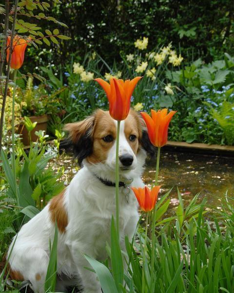 Tulip Ballade Bulbs - Buy online at Farmer Gracy UK