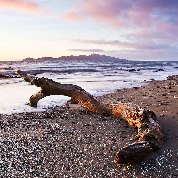 A twisted but smooth tree stumps sits in the late evening sunlight on Paekakariki Beach, Kapiti Coast, North Island, New Zealand. Ref No: NZNK169036
