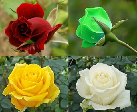 En sevdiğin gül rengi hangisi? ❤❤❤ 1-Kırmızı 2-Yeşil 3-Sarı 4-Beyaz