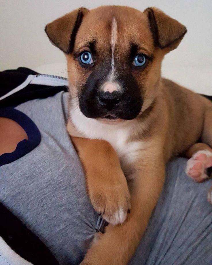 Our boxerhusky mix puppy lady dawwww pinterest