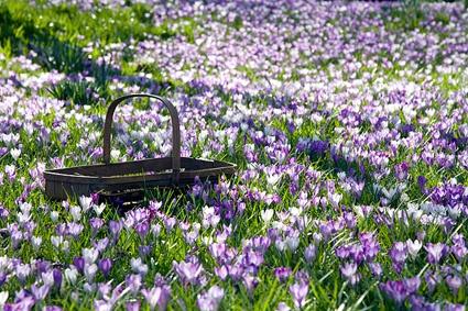 Crocus meadow, old trug.Crocus Meadow, Meadow Photos