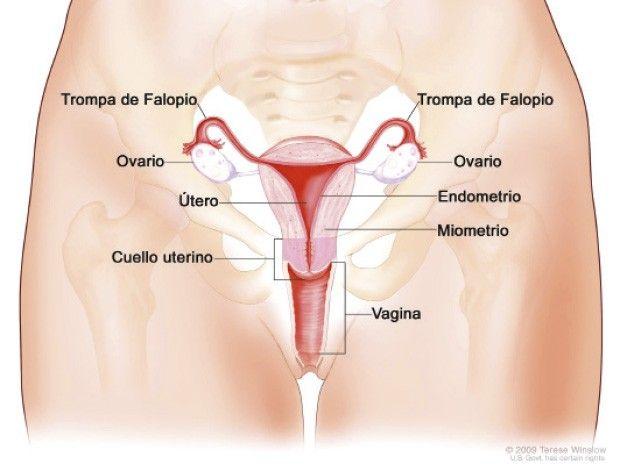 Los órganos genitales internos del aparato reproductor femenino son importante para la vida misma. Aquí te explicaremos cada uno de sus órganos.Junto al aparato reproductor masculino, es el...