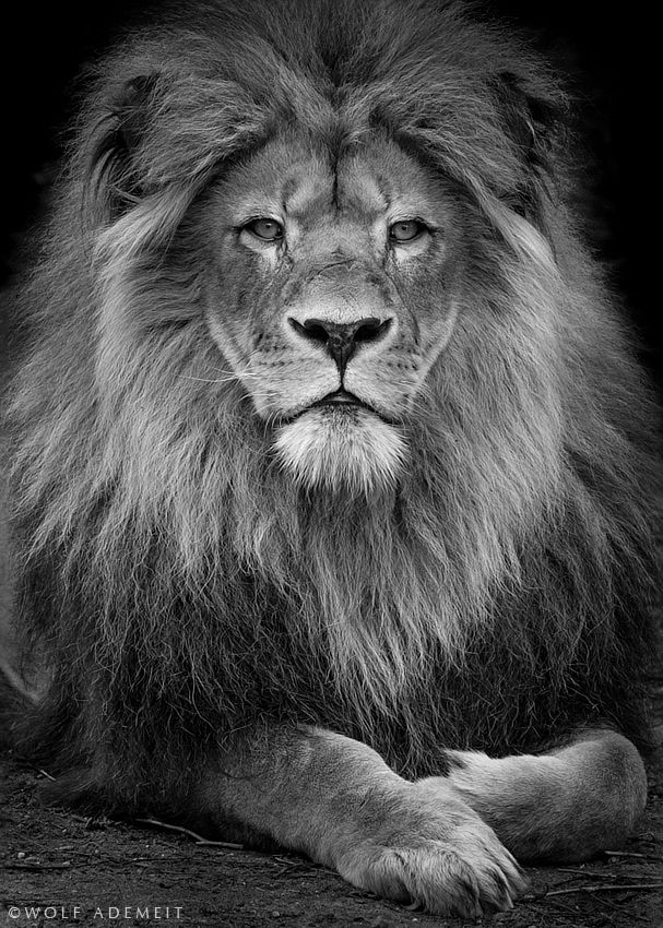 Lion images black and white - photo#26