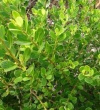 Melicytus obovatus | Plantpedia