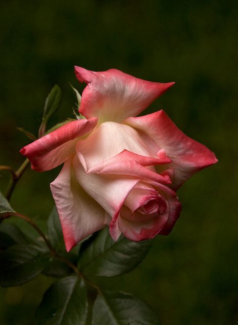 1000 ideas about single rose tattoos on pinterest rose for Individual rose petals