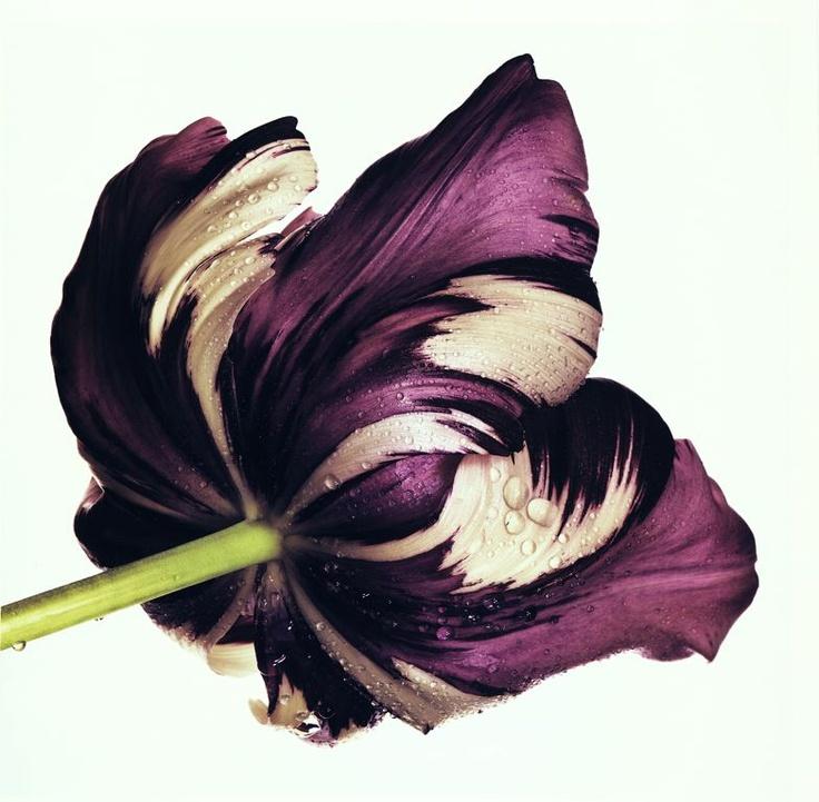 Irving Penn /  Cottage Tulip: Sorbet, New York / 1967, printed 1986 / Art Institute of Chicago