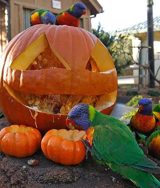 Lorikeets pull treats from a carved pumpkin during an enrichment program at the Oklahoma City Zoo in Oklahoma City.