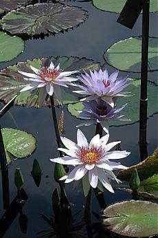 пруд с лилиями.