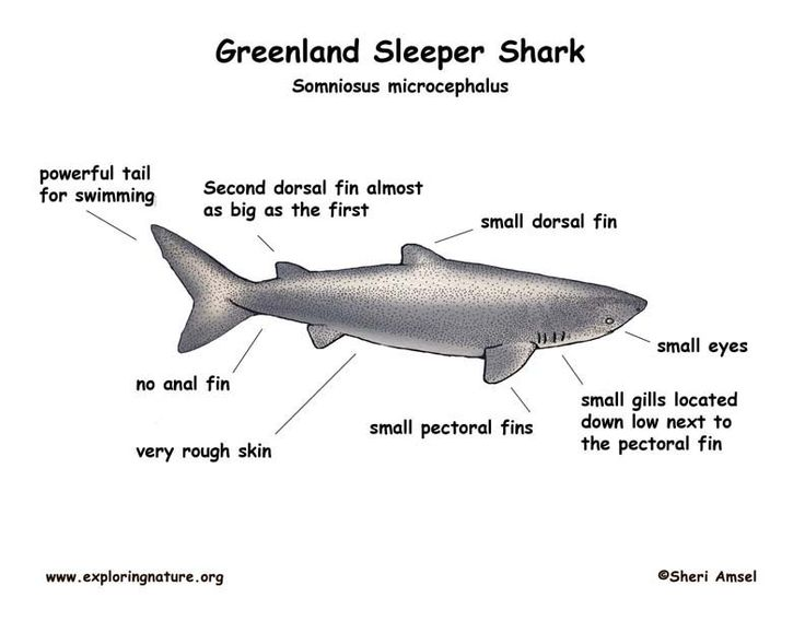 a study on the greenland shark Greenland sharks have stolen the crown as longest-living vertebrate on earth, with new research suggesting they live at least as long as 400 years.