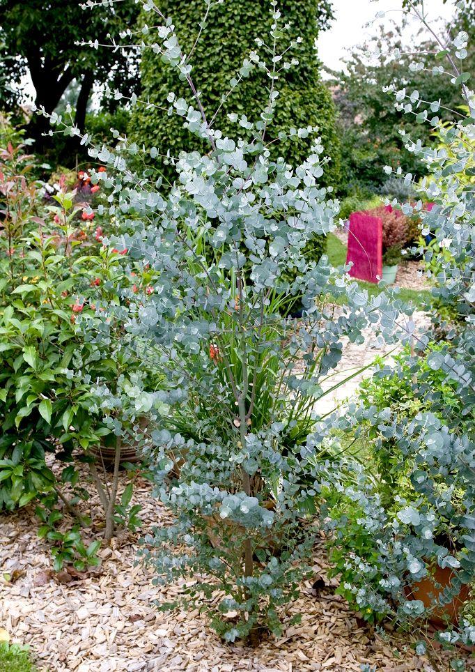 Gommier bleu (Eucalyptus gunnii 'Azura')  Joli feuillage à feuilles rondes (lorsqu'il est jeune), bleu argenté, aromatiques et persistantes. Floraison en juillet-août.  Variété plus compacte. Port en arbre étalé ou en arbuste buissonnant. Croissance rapide jusqu'à environ 10 m de haut sur 5 m d'étalement.  En massifs ou haies en buisson, isolé, bord de mer. Pour petits jardins et culture en pot ou en bac. Rustique jusqu'à -18 °C.