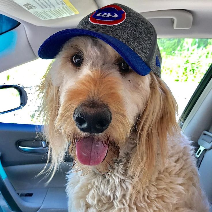 Hoping to get those Cubbies out of their funk! #chicago #chicagocubs #cubs #goldendoodlesofinstagram #goldendoodle #stitchthegolden