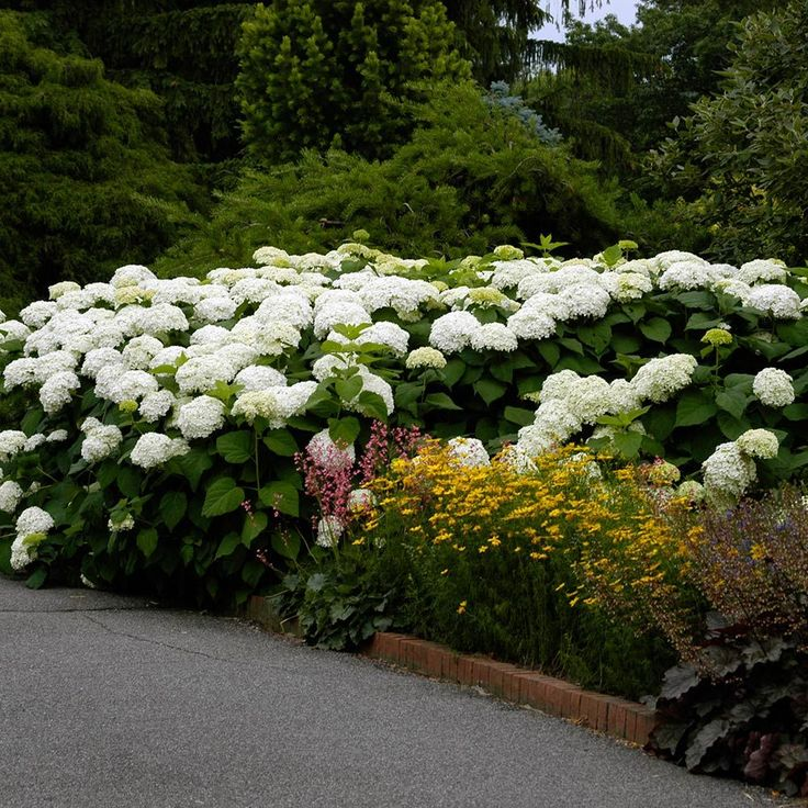 Hydrangea arborescens Annabelle: A mounding shrub that grows 3-5′ high with a wider spread. In July, it produces huge (8-12″) round heads of pure white blooms that remain attractive into September.