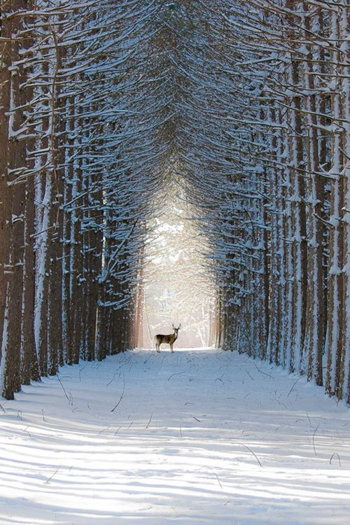 Deer in the winter woods: