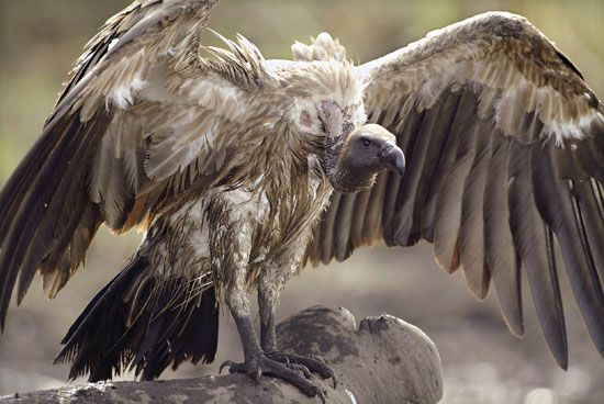 """White-rumped Vulture (Gyps bengalensis) was present in large numbers until the 1990s and declined rapidly in numbers since; up to 99.9% between 1992 and 2007. In 1985 the species was described as """"possibly the most abundant large bird of prey in the world"""". This vulture builds its nest on tall trees often near human habitations in northern and central India. It feeds mostly on carcasses of dead animals which it finds by soaring high in thermals. It often moves in flocks."""